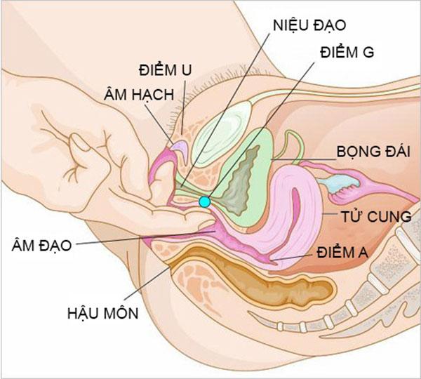 Cơ quan sinh dục nữ bao gồm những gì?